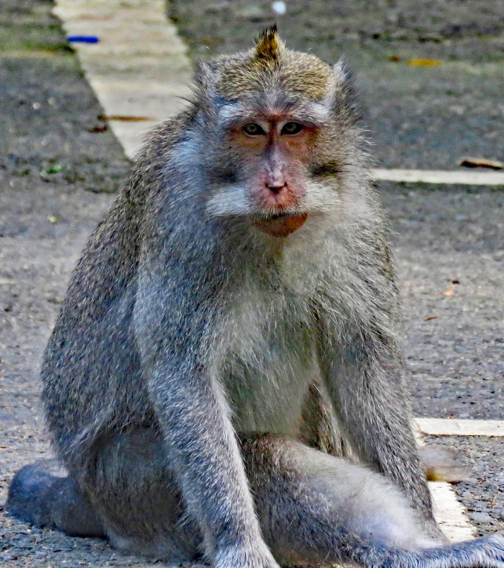 bali 4_monkey staring at photographer_edited-2 copy
