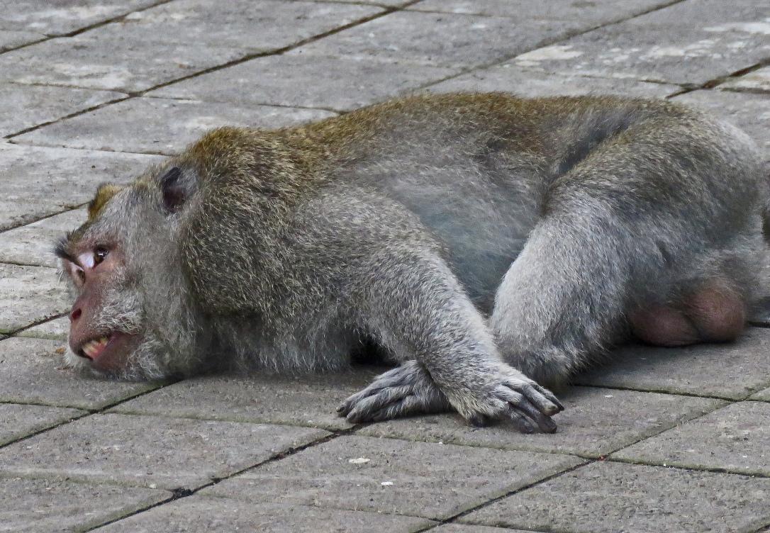bali 4_resting monkey_edited-1