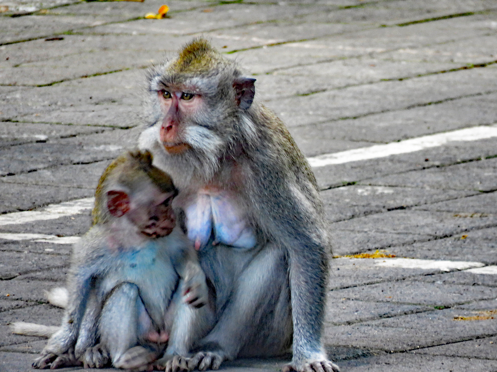 bali 4_ubud monkey mama and baby_edited-1 copy