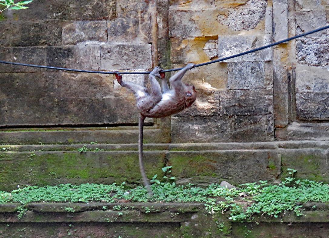 bali 4_ubud monkey walking powerline upside down_edited-1