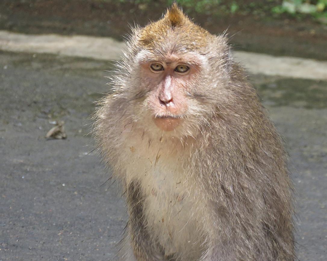 bali 4_ubud young monkey_edited-1