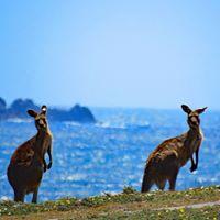 Kangaroos, Korora, Australia