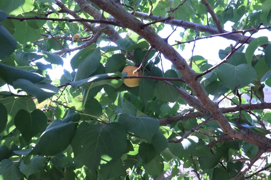 Apricots_tree