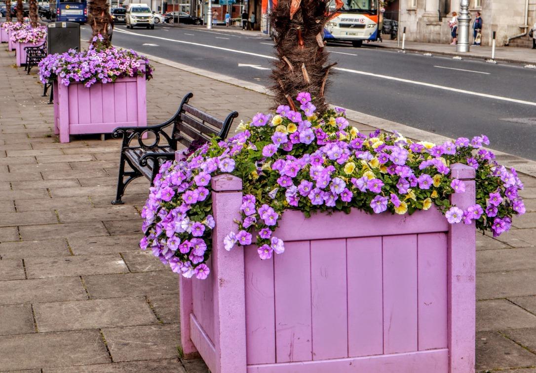 Dublin_lavender