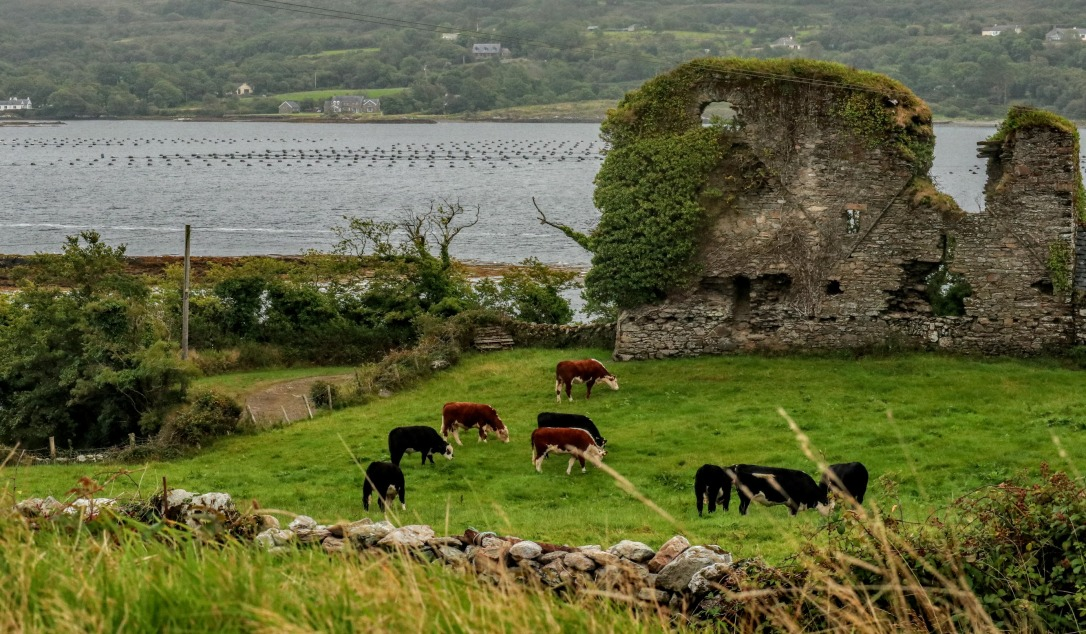 Durrow_wall castle cows mussel on greenjpg
