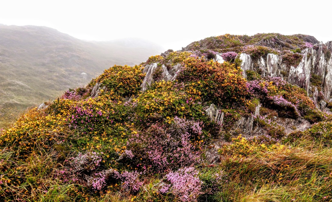 Sheeps head_heather on rock