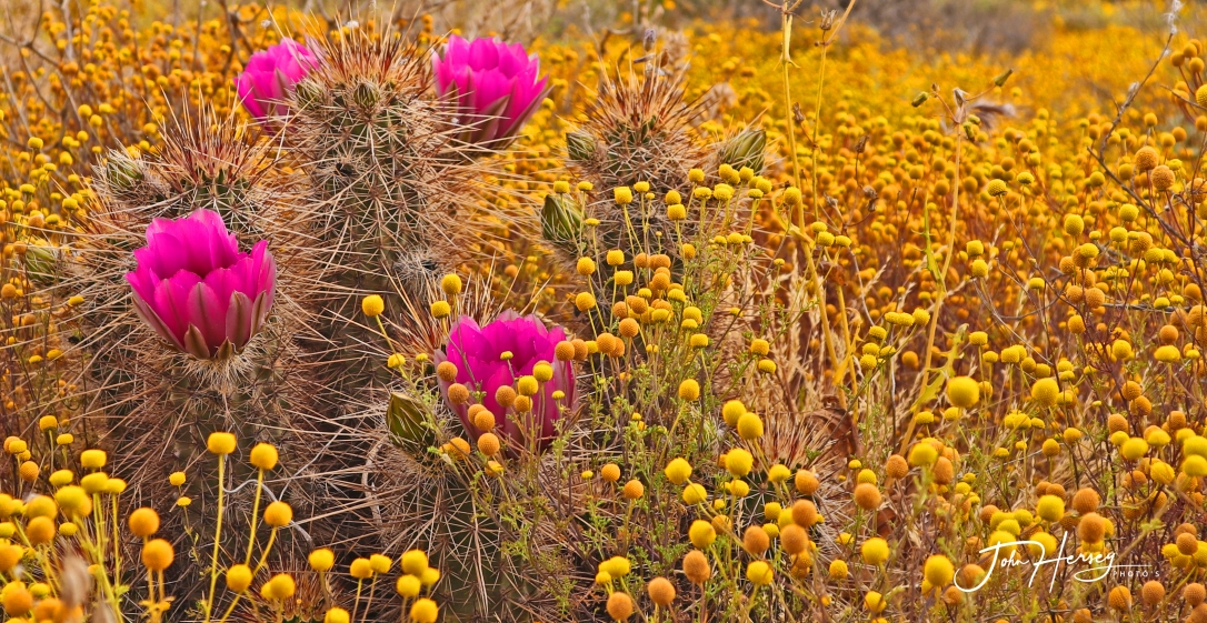 cave creek_2020 Apr 11_4 Pink Hedgehog Flowers_edited-2