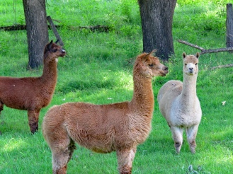 The Alpaca Herd